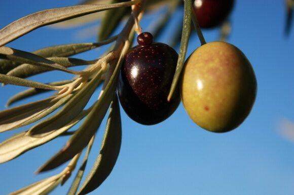 Soler-Romero-organic-olives-1024x683